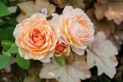 オレンジのバラの花言葉の意味や品種は?花束の値段や購入店も