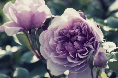 紫のバラの花言葉の意味や品種は?花束の値段はいくら?