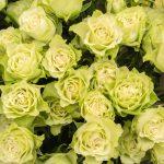 緑のバラの花言葉には意外な意味!?品種や花束の値段も