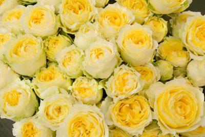 黄色いバラの花言葉の意味や由来は?花束の値段や種類も