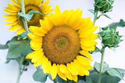 ひまわりの花言葉は恐怖の意味も!?信頼や笑顔に隠された理由とは?