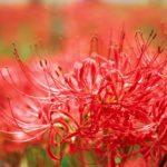 彼岸花の花言葉は赤と白で違う?怖い意味の由来とは?