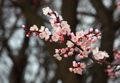 梅の花言葉の意味が怖いけど由来は?赤・ピンク・白の色別に紹介!