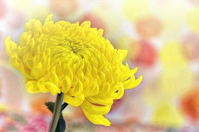 菊の花言葉の意味は黄色や白など色別で違う?怖いだけじゃない?