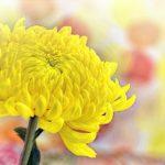 菊の花言葉の意味は怖い?黄色や白・赤など色別で違う?